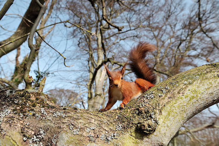 Red Squirrel Sciurus vulgaris Length 35-45cm Britain's native squirrel. Adult has compact body with large head, tufted ears and bushy tail. In summer, coat is mainly orange-brown with creamy white underparts; tail bleaches paler with time. In winter, coat is thicker and darker on back; ear tufts more pronounced. Utters chattering calls. Formerly widespread in Britain prior to introduction of Grey Squirrel; now common only in N in mature conifer forests with a few southern outposts (eg Thetford Forest in Norfolk, Isle of Wight and Brownsea Island, Dorset.