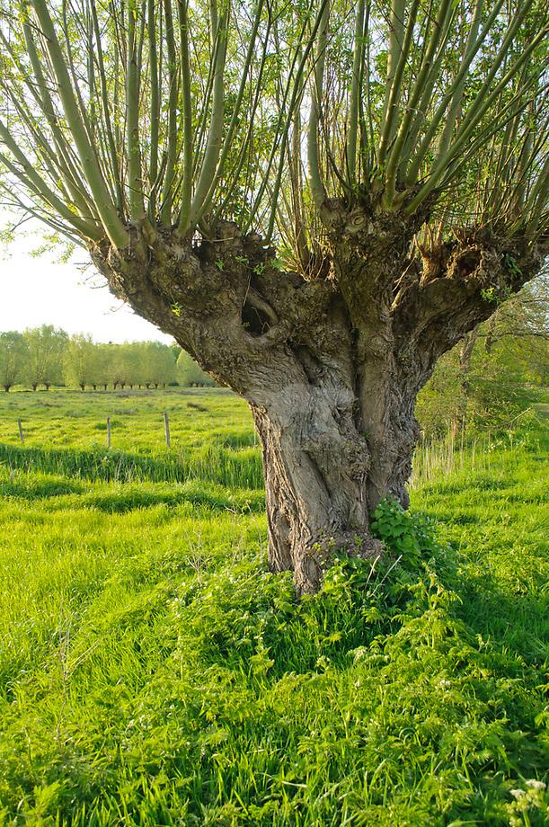 Knotwilg (Salix spec.)