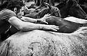 Todos los a&ntilde;os se lleva a cabo en un pueblo de Galicia,Sabucedo, una fiesta con un valor etnogr&aacute;fico incalculable, una tradici&oacute;n milenaria llamada la Rapa das Bestas, esta consiste en agrupar y bajar a los caballos salvajes del monte, meterlos en un curro, desparasitarlos , cortarles las crines, y colocarles un microchip.<br /> Esta labor la llevan a cabo los hombres y mujeres del pueblo, tambi&eacute;n participan los ni&ntilde;os separando los potrillo de las yeguas de estas forma las cr&iacute;as quedan bien protegidas paras ser luego revisadas por los veterinarios.<br /> Aunque la lucha entre los hombres y los caballos es una lucha feroz y hasta puede parecer violenta, los animales no sufren ning&uacute;n tipo de da&ntilde;o m&aacute;s bien se podr&iacute;a decir que es por su propio bien.<br /> En la acci&oacute;n de rapar participan entre tres y cuatro hombre (loitadores) uno de ellos monta al caballo e intenta domarlo, uno le sujeta la cola, otro junto con el jinete le sujetan la cabeza tapando los ojos intent&aacute;ndolo tumbar en el suelo si no es posible, en caso contrario, se le rapa de pie, por ultimo entra en acci&oacute;n el cuarto loitador que provisto de unas tijeras procede a cortar las crines.<br /> Antiguamente con las crines que es el pelo del caballo, fabricaban colchones y eran muy codiciadas, actualmente la raz&oacute;n de su corte es mas bien por higiene.