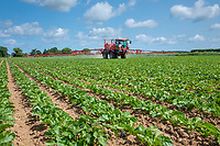Spraying sugar beet - Norfolk, June