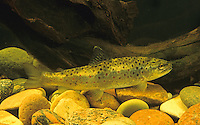 Bachforelle, Steinforelle, Forelle, Jungtier, Salmo trutta fario, brook trout, omble de fontaine