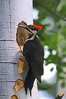 Pileated woodpecker (Dryocopus pileatus), Summer, Western North America.
