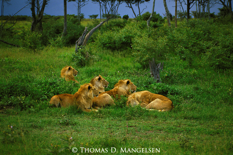 Lions (Panthera leo) in Serengeti National Park - Tanzania
