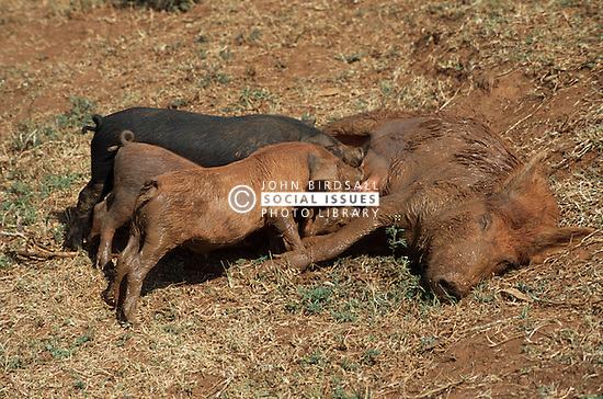 Half grown piglets feeding from their reclining mother,