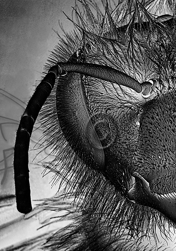 Frontal view of a bee magnified 22 times under a scanning electron microscope. The body of the bee is covered in hairs particularly adapted to the harvesting of pollen. Incidentally it makes the Apis mellifera an excellent pollinator.