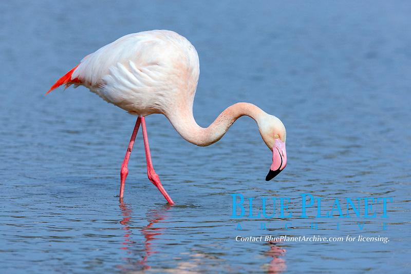 Greater Flamingo (Phoenicopterus ruber roseus), foraging in water, Saintes-Maries-de-la-Mer, Camargue, France, Europe