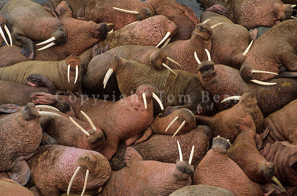 Male walruses basking on Round Island, Walrus Islands State Game Sanctuary, Alaska, AGPix_0194.