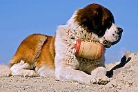 Animais. Mamiferos. Cães. São Bernardo. Foto de Cris Berger.