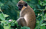 Vervet Monkey, Cercopithecus aethiops, in  tree, West Africa