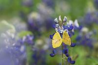Sleepy Orange butterfly on Texas Bluebonnet, Texas