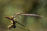 Gemeine Federlibelle, Blaue Federlibelle, Weibchen, Platycnemis pennipes, white-legged damselfly