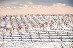 Bare grape vines on a hillside covered with snow in the Shenandoah Valley of Calif.
