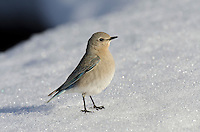 Female Mountain Bluebird (Sialia currucoides) resting on snowbank.  Western U.S., May..