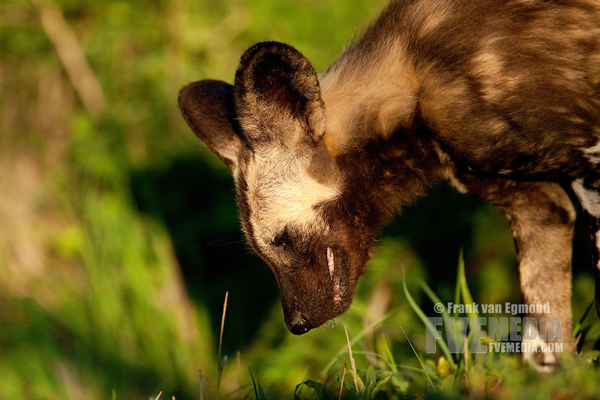 African Wild Dog (Lycaon pictus)..Regurgitating is not only done to bring food back to the pups, but also for the adults that stay behind to look after the pups while the rest of the pack hunts..Hluhluwe-Imfolozi Game Reserve..Kwazulu-Natal, South Africa.