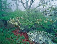 Shenandoah National Park, VA<br /> White Oak (Quercus alba) blooming in foggy spring forest