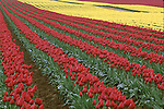 Washington Tulips, red and yellow