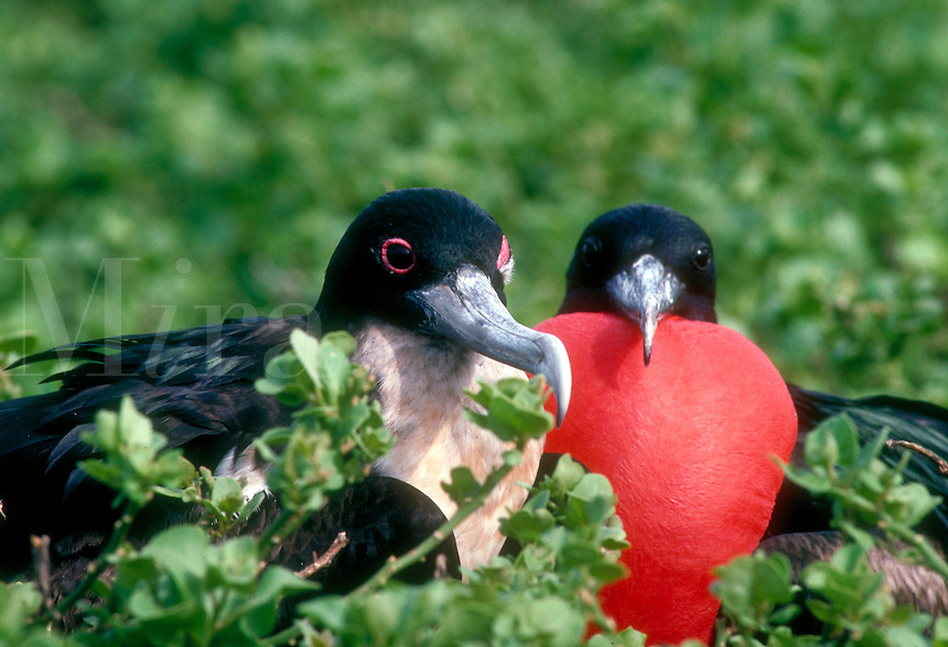 A pair of Great Frigatebirds, Frigata minor; the male with the gular pouch inflated, seabirds. Tower Island Galapagos Islands Ecuador Pacific Ocean, 650 miles west of S. Am. bird, birds, wildlife