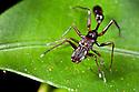 Ant-mimicking jumping spider {Myrmarachne sp}, tropical rainforest, Masoala Peninsula National Park, north east Madagascar.