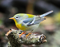 Female northern parula in fall migration