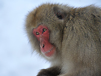 Japanese Macaque (Snow Monkey) at the Jigokudani Park near Nagano, Japan
