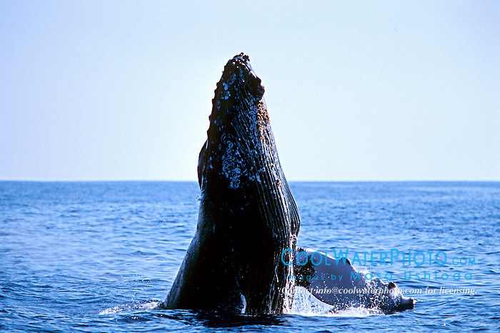 humpback whale, chin slap, Megaptera novaeangliae, Big Island, Hawaii, Pacific Ocean