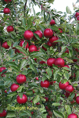 AT02-506z   Apples, Cortlands