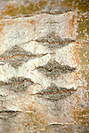 Largetooth Aspen tree bark, Populus grandidentata