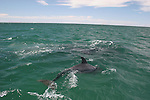 Bottlenose dolphin in Laguna San Ignacio