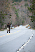 Moose on the Kancamagus Highway (route 112), during the spring months in the White Mountains, New Hampshire USA.