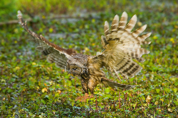 Barred Owl attempting to catch a crayfish (crawfish) in a southern swamp.  LA.