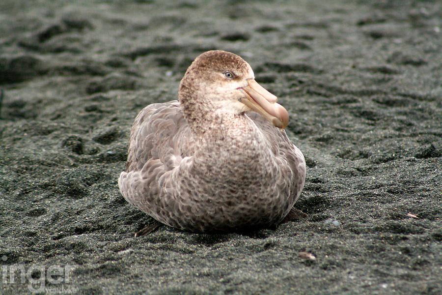 Southern Giant Petrel, Macquarie Island, Antarctica