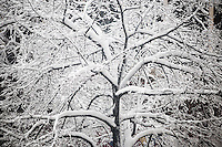 Heavy wet snow sticks to the branches of trees in the Chelsea neighborhood of New York on Monday, February 3, 2014. A winter storm with wet, slushy snow hit the city with an expected snowfall of 4 to 8 inches. (© Richard B. Levine)