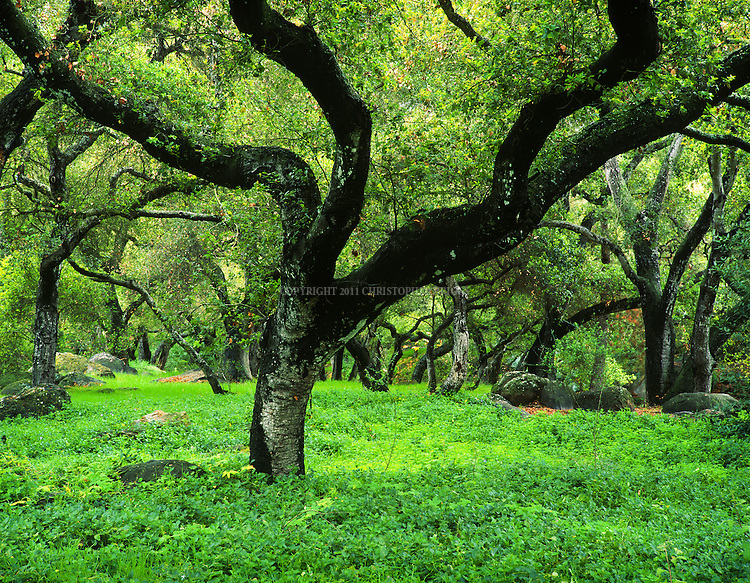 Oak Tree in spring, Rocky Nook Park, Santa Barbara, CA. Set among 19 acres of land along Mission Creek, the park is full of oak and sycamore trees.