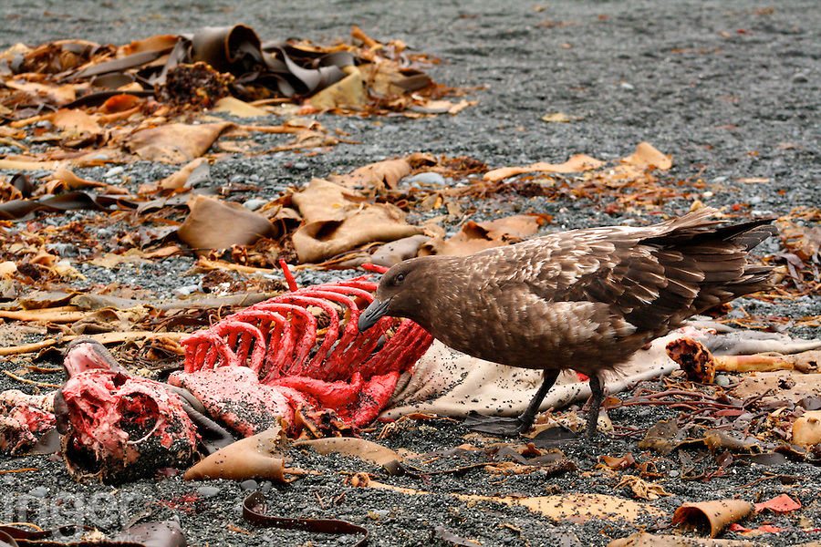 A Brown Skua cleans the carcass of a Southern Elephant Seal on Macquarie Island, Antarctica