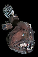 black seadevil or deep sea anglerfish, Melanocetus sp., showing bioluminescent lure which will be used to attract prey in the dark, deep sea, live specimen, brought up from a depth of 3,300 feet (1000 m) in a water intake pipe at Natural Energy Laboratory of Hawaii Authority or NELHA, Keahole Point, Kailua Kona, Big Island, Hawaii, USA, Pacific Ocean (c)