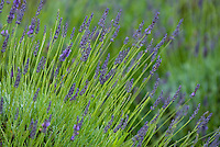 Lavender thrives at Alii Kula Lavender farm and gardens at the base of Haleakala, Kula