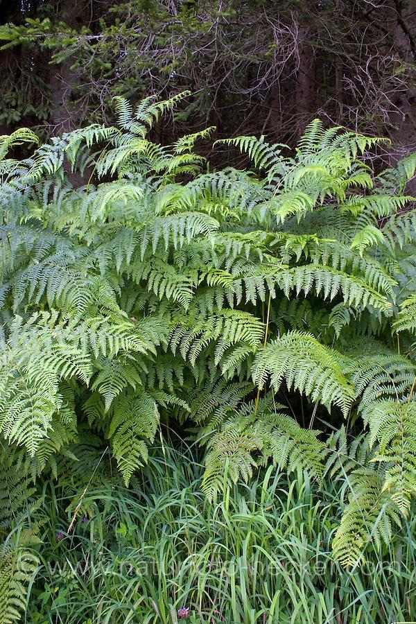 Adlerfarn, Adler-Farn, Pteridium aquilinum, brake, common bracken, eagle fern