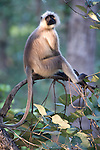Grey, Common or Hanuman Langur, Semnopitheaus entellus, Bandhavgarh National Park, sitting in tree,.India....