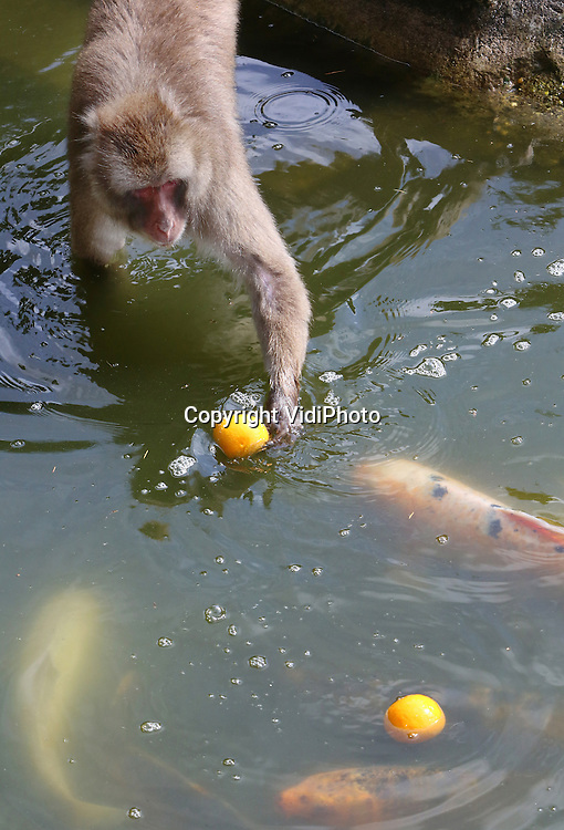 Foto: VidiPhoto<br /> <br /> AMERSFOORT - De bewoners van Dierenpark Amersfoort zijn niet minder in oranjestemming dan hun verzorgers. En om die stemming nog wat te verhogen, kregen de beren, stokstaartjes en Japanse makaken in de aanloop naar het WK in Brazili&euml; daarom donderdag oranje voedsel: sinaasappels. Voor de dieren een zeldzame en aangename verrassing.