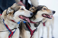runs on the inbound trail towards the finish line of the 2016 Junior Iditarod in Willow, Alaska, AK  February 28, 2016