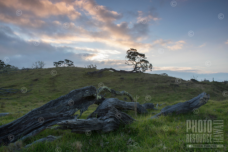 At sunset, green grass and moss grow over ancient fallen koa trees on the hills of Mauna Kea near Mana Road, Big Island.