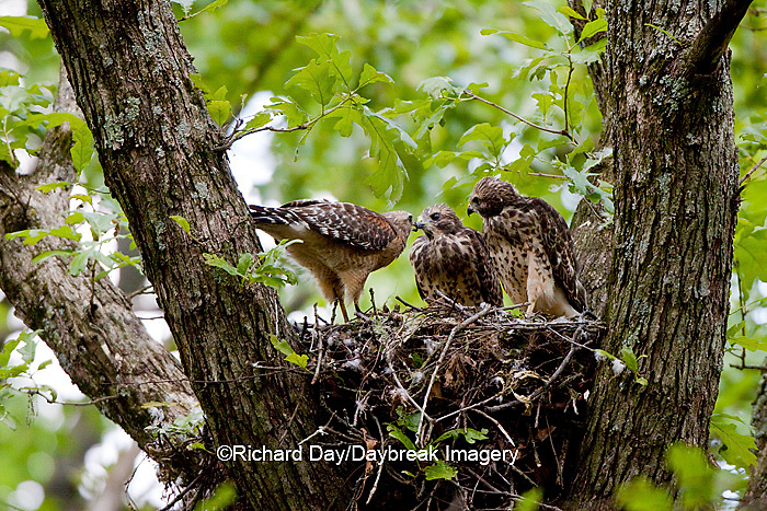 00794-00703 Red-shouldered Hawks (Buteo lineatus) adult feeding nestlings at nest   Marion Co., IL