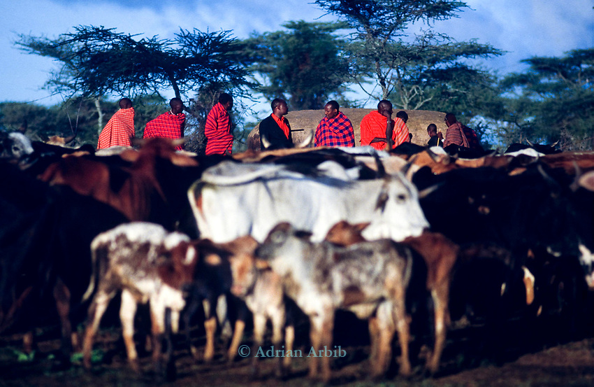 A Maasai Moran manyatta , the morning of the Morans' initiation into manhood.   All the teenage boys from one  age set will have stayed in this manyatta for several weeks unilt they have been initiated into manhood.