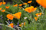 Close-up view of brightly colored Eschscholzia Californica, California poppies (common name) in the Santa Barbara Botanic Garden; Santa Barbara; Santa Barbara County; California; CA; USA