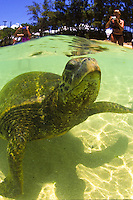 "Endangered Green Sea Turtles can be seen up close and personal in the clear waters at Laniakea Beach on Oahu's north shore. Their Hawaiian name is """"Honu"""". Scientific name (Chelonia mydas)"