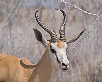 Springbok, Etosha NP, Namibia