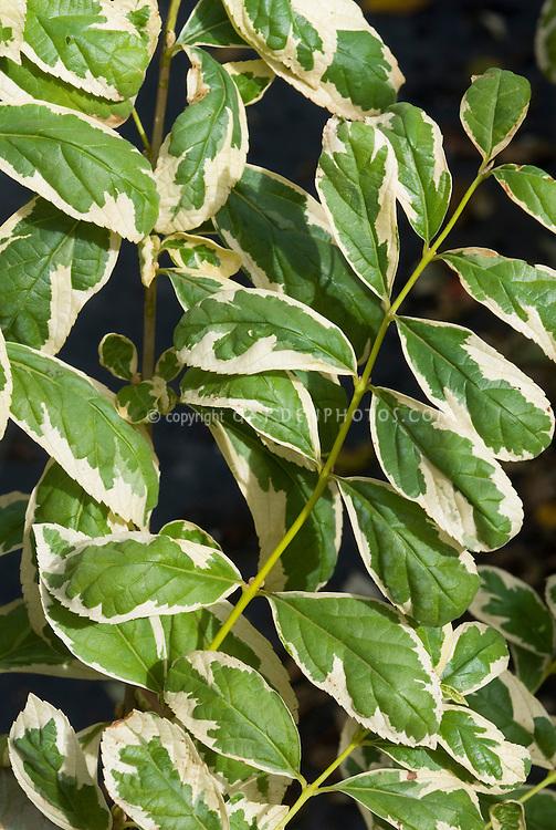 Callicarpa dichotoma 'Variegata' fall foliage