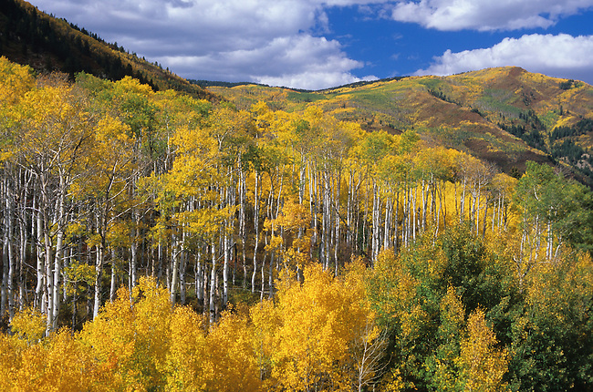 Autumn, Aspen Trees, McClure Pass, White River National Forest, Colorado