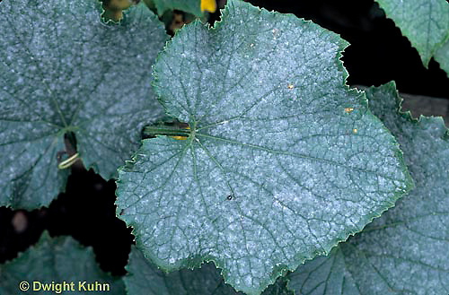 DC31-004a  Powdery Mildew - on cucumber - Erysiphe cichoracearum