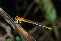Kleine Pechlibelle, Ischnura pumilio, Small Bluetail, scarce blue-tailed damselfly, Agrion nain, Ischnure naine